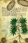 voynichův-rukopis-150